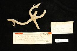Image of <i>Sigsbeia murrhina</i> Lyman 1878