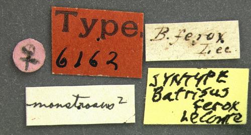 Image of <i><i>Batriasymmodes</i></i> (Batriasymmodes) <i>monstrosus</i> (Le Conte & J. L. 1849)