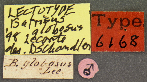 Image of <i>Batrisodes</i> (<i>Excavodes</i>) <i>lineaticollis</i> (Aubé 1833)
