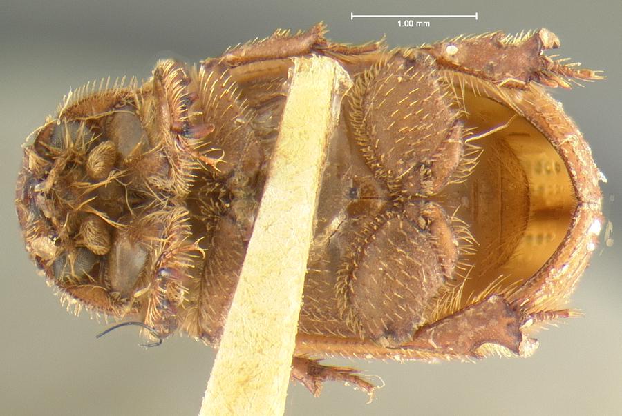 Image of <i>Glaresis ecostata</i> Fall 1907