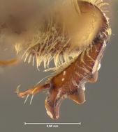 Image of <i>Glaresis phoenicis</i> Fall 1907