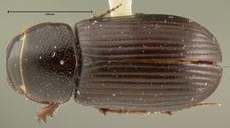 Image of <i>Ataenius erratus</i> Fall 1930