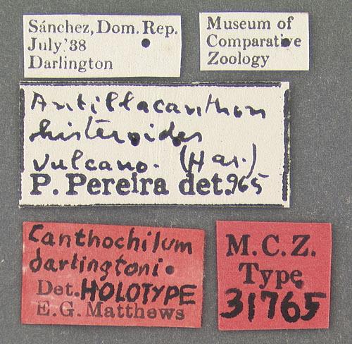 Image of <i>Canthochilum darlingtoni</i> Matthews 1969