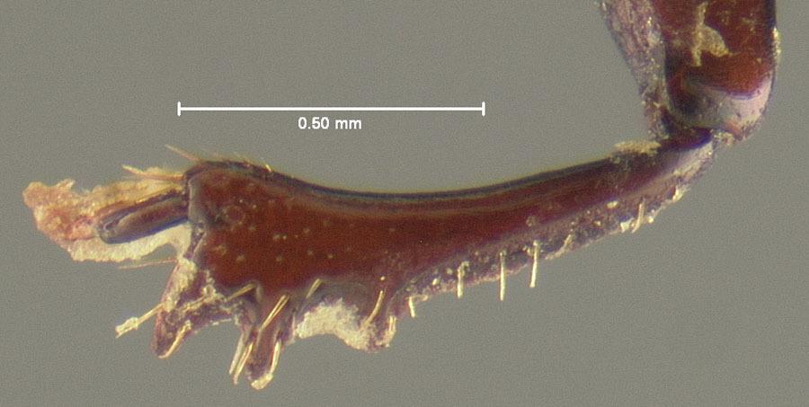 Image of <i>Canthochilum ciboney</i> Matthews 1969