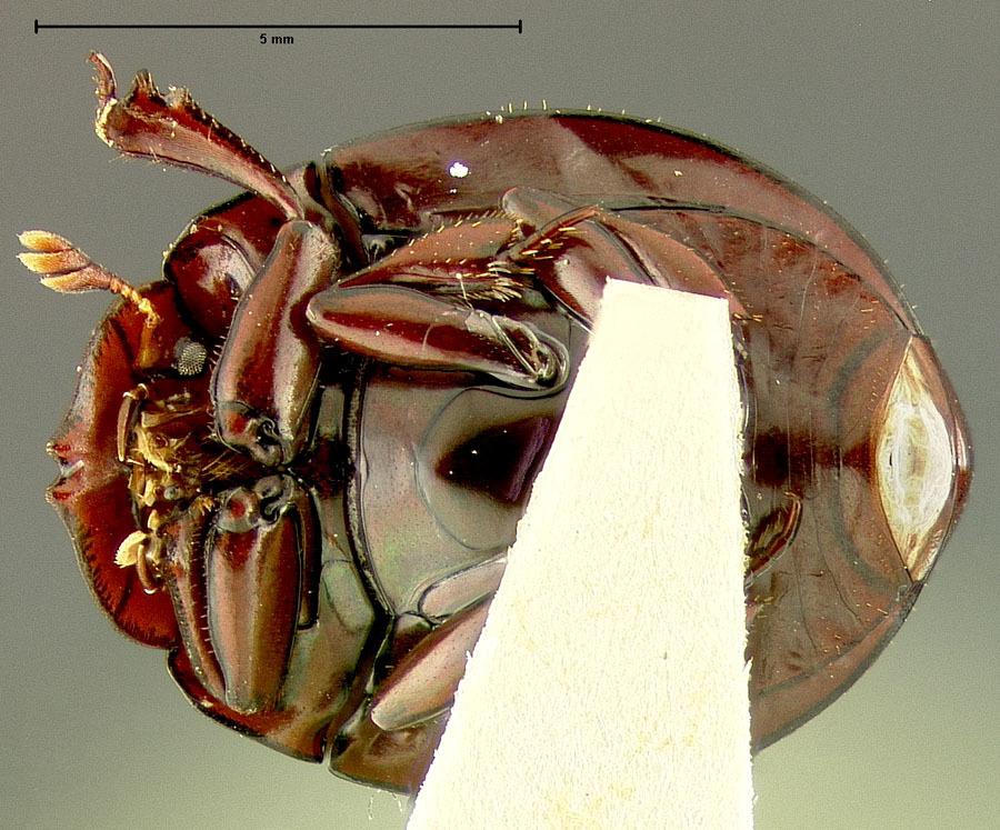Image of <i>Haroldius philippinensis</i> Pereira 1954