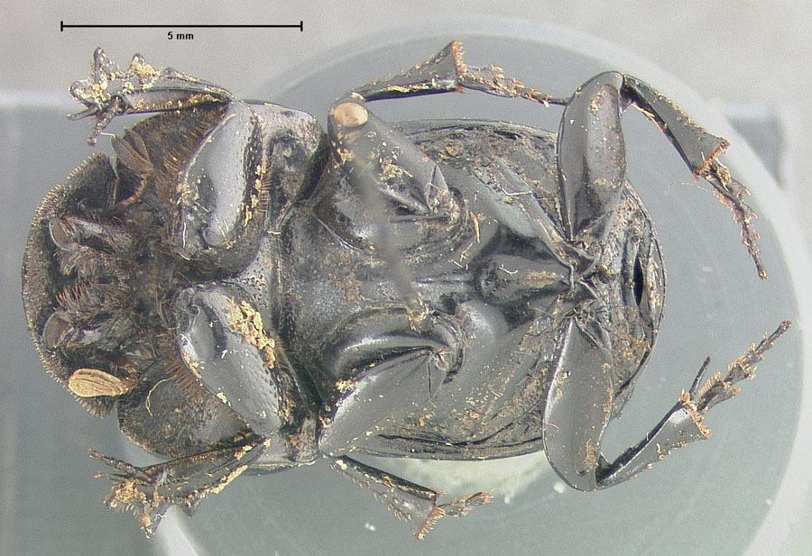 Image of <i>Ontherus rectangulidens</i> Génier 1996