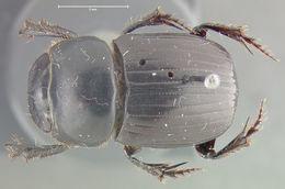 Image of <i>Ontherus</i> (<i>Caelontherus</i>) <i>sanctaemartae</i> Génier 1996