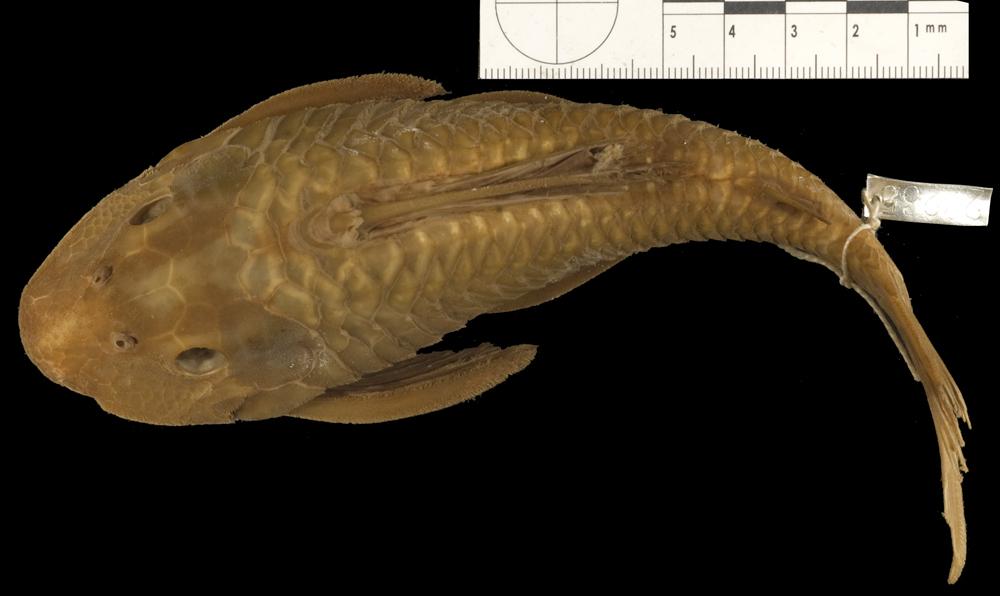 Image of <i>Plecostomus lima atropinnis</i>