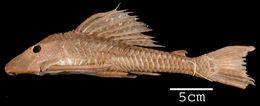 Image of <i>Plecostomus carinatus</i>