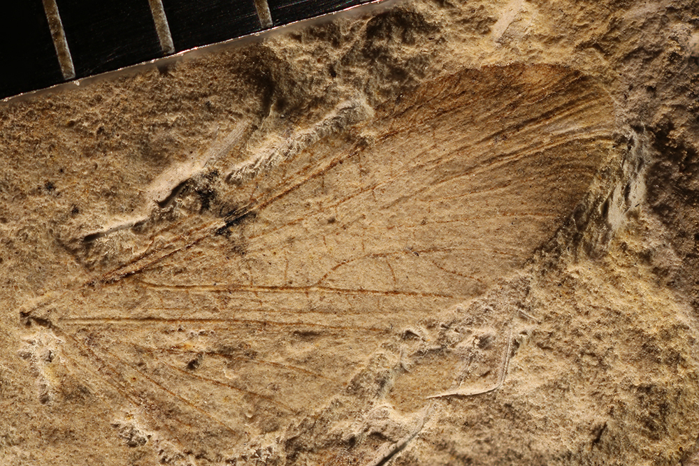 Image of <i>Protembia permiana</i> Tillyard