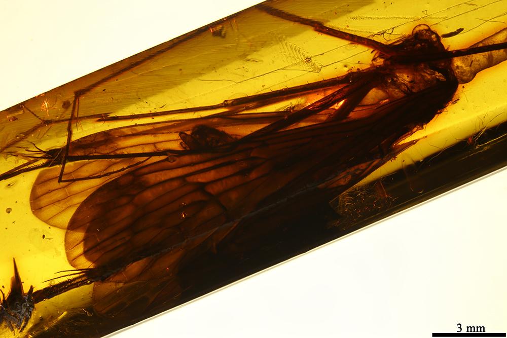 Image of <i>Bittacus succinus</i> Carpenter 1954