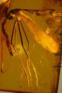 Image of <i>Hylobittacus minimus</i> (Carpenter 1954)