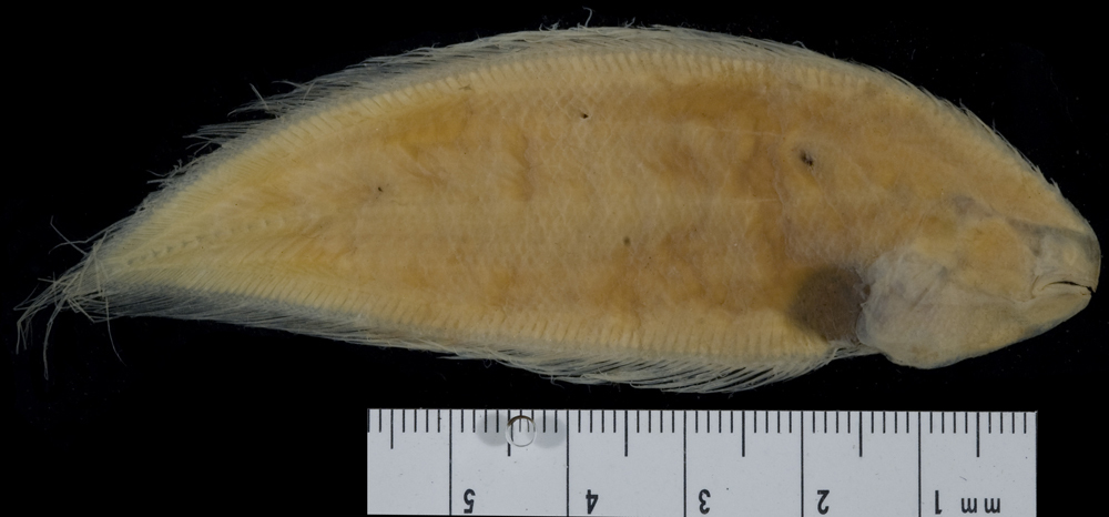 Image of <i>Aphoristia pigra</i>