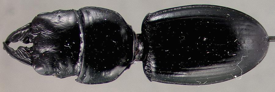 Image of <i>Archiearis infans oregonensis</i> Swett. 1917