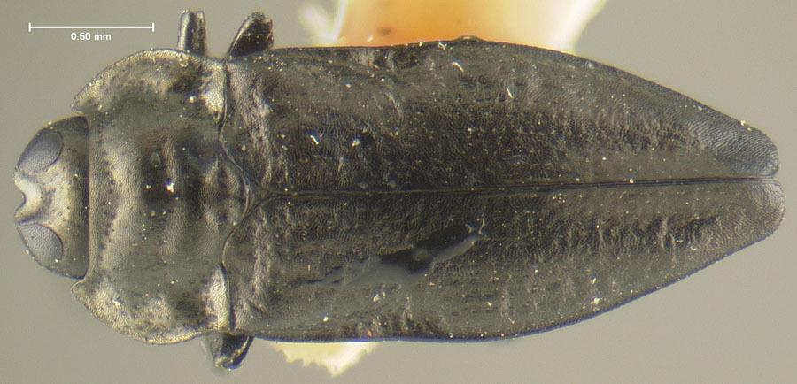 Image of <i>Aphanisticus affinis</i> Kerremans 1900