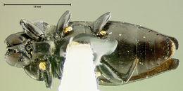 Image of <i>Aphanisticus sumatrensis</i> Kerremans 1900