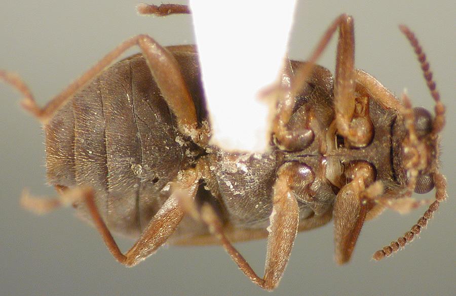 Image of <i>Psephenops maculicollis</i> Darlington 1936