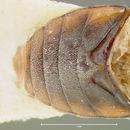 Image of <i>Centuriatus compactus</i> (Fall 1937)
