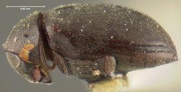 Image of <i>Tricorynus nigripennis</i> (Fall 1905)