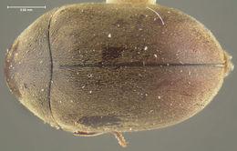 Image of <i>Tricorynus mutans</i> (Fall 1905)