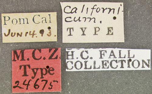 Image of <i>Petalium californicum</i> Fall 1905