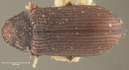 Image of <i>Petalium seriatum</i> Fall 1905