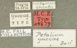 Image of <i>Petalium yuccae</i> Fall 1905