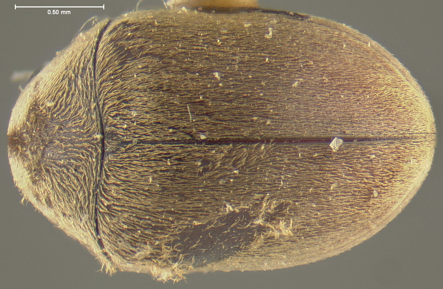 Image of <i>Tricorynus gibbulus</i> (Fall 1905)