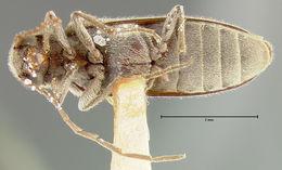 Image of <i>Paralobium mundum</i> Fall 1905