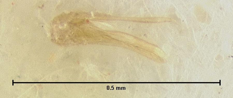 Image of <i>Loricaster depressus</i> Endrody-Younga 1981