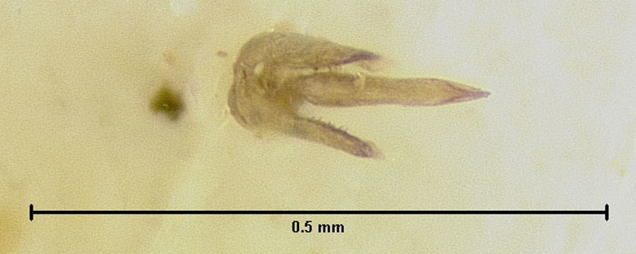 Image of <i>Loricaster lawrencei</i> Endrody-Younga 1981