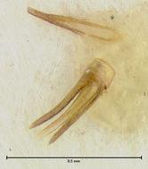 Image of <i>Loricaster tumidus</i> Endrody-Younga 1981
