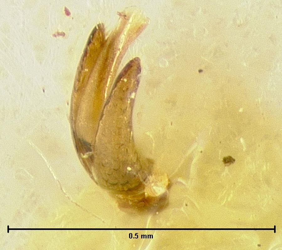 Image of <i>Loricaster bioculatus</i> Endrody-Younga 1981