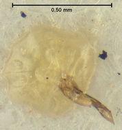 Image of <i>Clambus glabratus</i> Endrody-Younga 1981