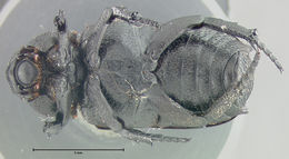 Image of <i>Cremastocheilus quadratus</i> Fall 1912