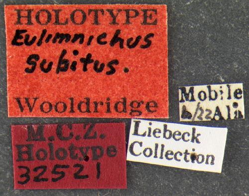 Image of <i>Eulimnichus subitus</i> Wooldridge 1979
