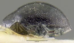 Image of <i>Eulimnichus improcerus</i> Wooldridge 1979