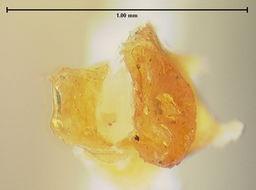 Image of <i>Euscaphurus spinipes</i> Vit 1995