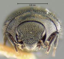 Image of <i>Eulimnichus expeditus</i> Wooldridge 1984