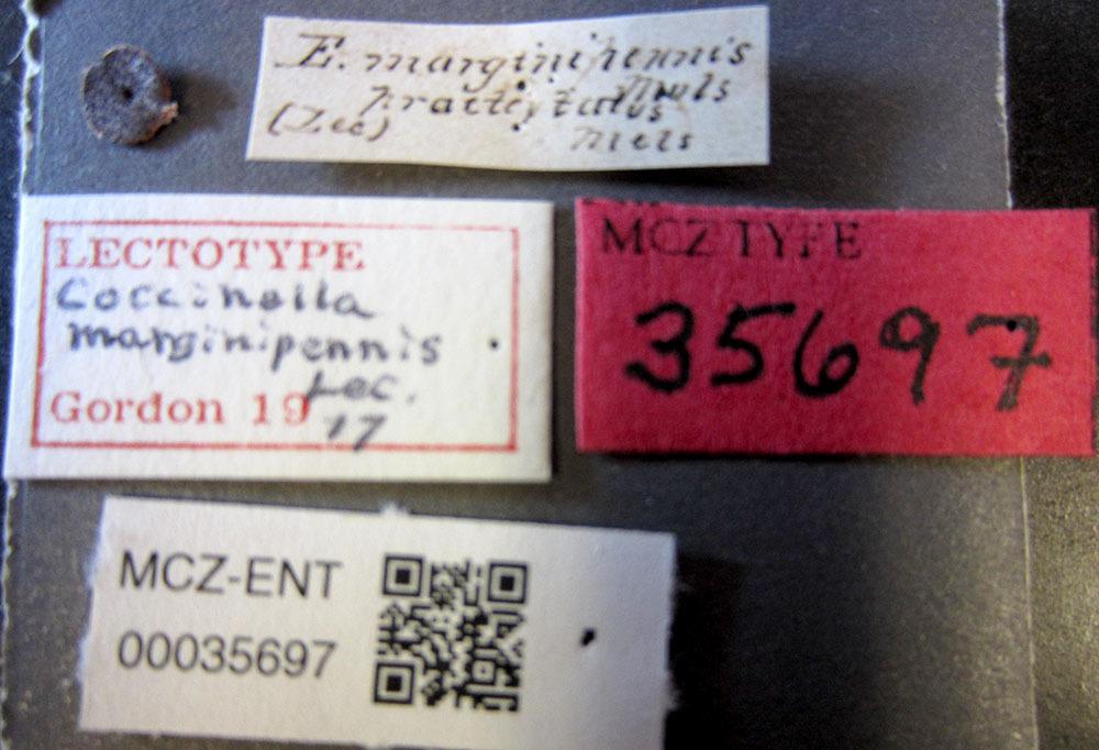 Image of <i>Exochomus marginipennis</i> (Le Conte 1824)