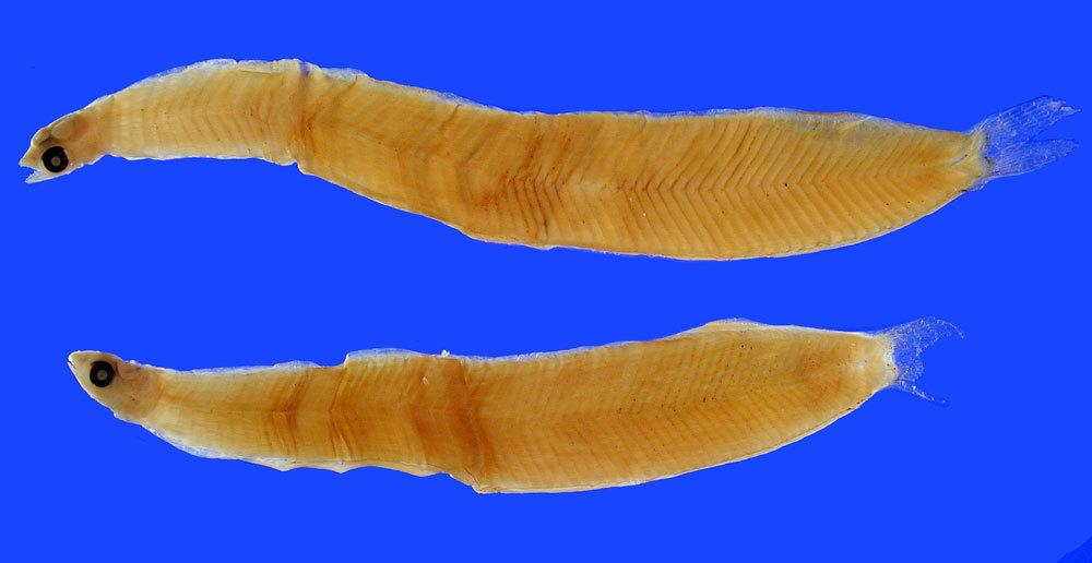 Image of <i>Atopichthys esunculus</i>