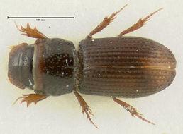 Image of <i>Pleurophorus banksi</i> Pittino & Mariani 1986