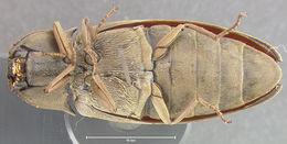 Image of <i>Pyrophorus mellifluus</i> Costa 1972