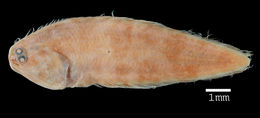 Image of Smallfin tonguefish
