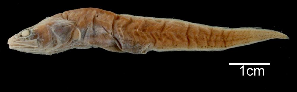 Image of <i>Pseudonus acutus</i> Garman 1899