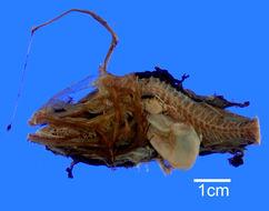 Image of <i>Dolopichthys allector</i> Garman 1899