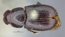Image of <i>Ataenius cognatus</i> (Le Conte 1858)