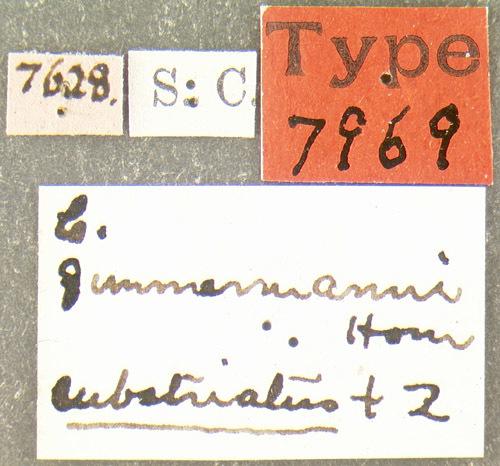 Image of <i>Cychramus zimmermanni</i> Horn 1879