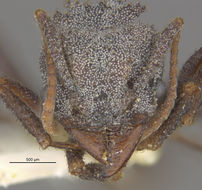 Image of <i>Trachymyrmex smithi</i> Buren 1944
