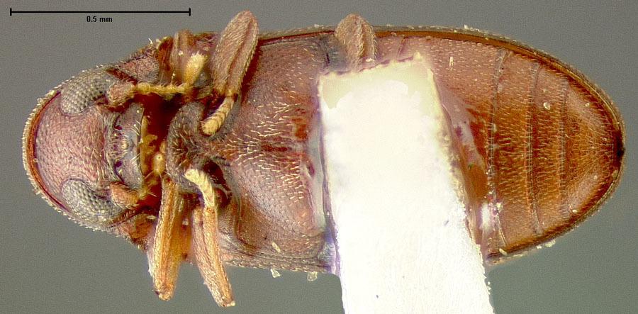 Image of <i>Petalium bistriatum</i> ssp. <i>arizonense</i> Fall